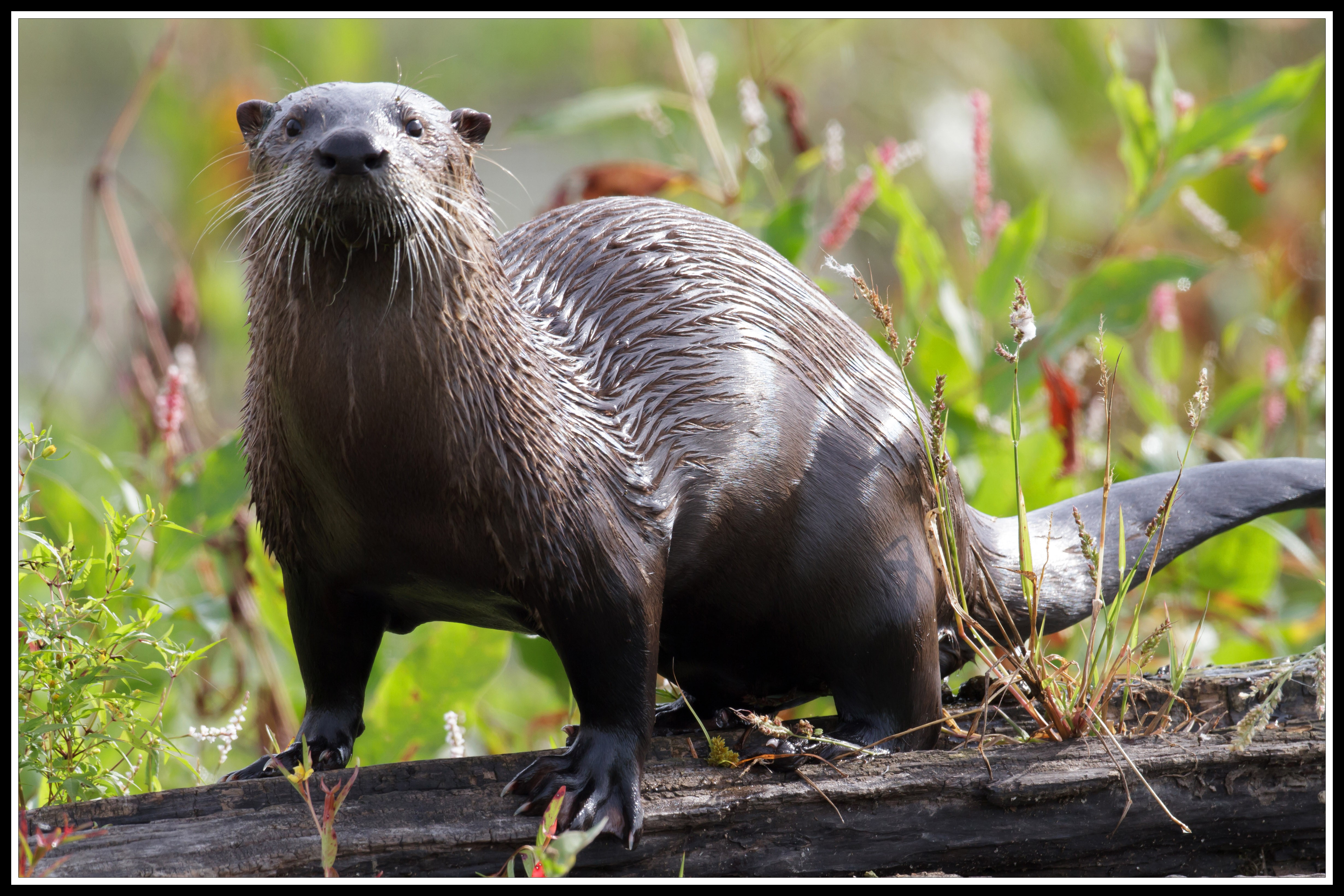Patoka otter border