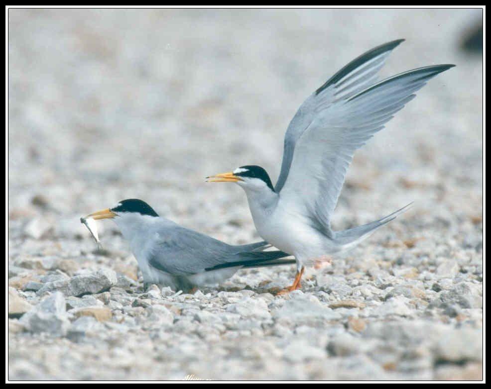 Least Tern border.
